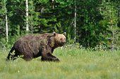 Bear Walking in a sunny summer evening