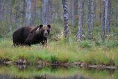 Bear Next To A Lake