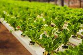Hydroponic Vegetables Salad Farm. Hydroponics Method Of Growing Plants Vegetables Salad Farm, In Wat poster