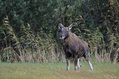 Bull Moose Peeing