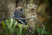 Dusky Woodswallow - Artamus Cyanopterus Bird Species Of Forests And Woodlands In Temperate And Subtr poster