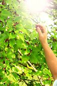 Human Hand Plucking Ripe Mulberry From Tree. Berries Of Mulberry. Mulberry Tree With Ripe Berries. C poster