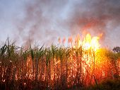 Sugarcane Field On Fire