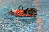 Pug on a swim