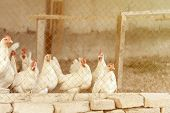 Domestic White Layer Hen With Red Crest.livestock Farm Bird.chicken Coop On Poultry Farm.domestic Ch poster
