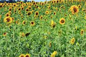 Field Of Blooming Sunflowers. Sunflower Field. Ripe Sunflowers Field In Summer poster