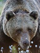 Old Male Bear