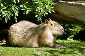 Capybara - The Largest Living Rodent In The World