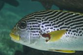 Diagonal-banded Sweetlips Detail