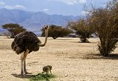 Male of African ostrich (Struthio camelus) with his young chick