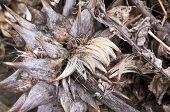 Wilted artichoke plant