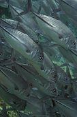 Sipadan Jacks Swimming Close-up