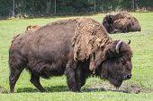 North American Bison 2