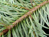 Pine Needles 2