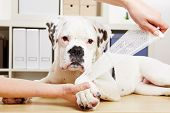 Boxer dog getting bandage after injury on his leg by a veterinarian