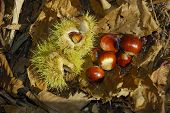 Sweet Chestnut Nuts