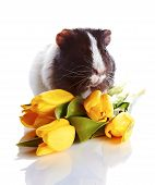 Guinea Pig With Tulips.