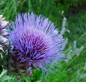 Flowering purple artichoke