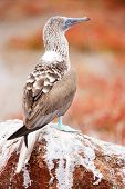 foto of booby  - Close up of blue footed booby at Galapagos island of  North Seymour - JPG