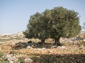 stock photo of samaria  - Cultivation of olive trees in the area of Shomron  - JPG