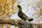 Black-billed Capercaillie (tetrao Parvirostris)