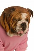 Bulldog With Sickly Expression