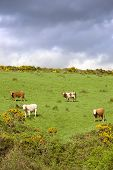 Irish Cattle Grazing In A Field On A Hill