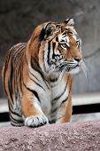 Frontal Vista de un tigre siberiano (panthera Tigris Altaica)