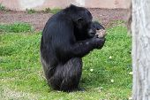 Chimpanzee (pan Troglodytes) Browsing A Package