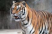 Pie de tigre (panthera Tigris Altaica) siberiano
