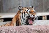 Siberiano Tigre (panthera Tigris Altaica) mostrando los dientes