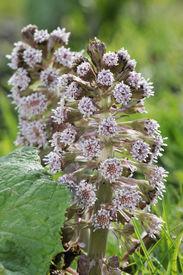 stock photo of butterbur  - Butterbur - Petasites hybridus Common along canal banks - JPG