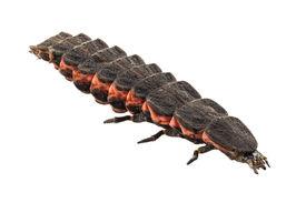 stock photo of lightning bugs  - Firefly female larva species nyctophila reichii common lightning bugs or glow - JPG
