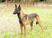 stock photo of belgian shepherd dogs  - A young beautiful black and mahogany Belgian Shepherd Dog standing on the grass - JPG