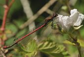 Large Red Damselfly on Dog Rose