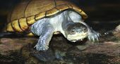 A Close Up Yellow Mud Turtle
