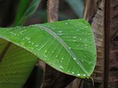 Rain Water Drops on the Young Greenish Banana Leaf
