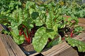 stock photo of angiosperms  - Swiss Chard Ruby Latin name Beta vulgaris - JPG