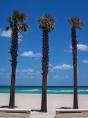Trio of Palm Trees at the beach