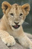 Lion Cub Growling