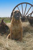 Bull Mastiff On The Farm