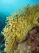 stock photo of fire coral  - A millepora fire coral facing the current - JPG