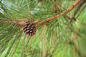image of pine-needle  - closeuped  brown pine cone of pine tree - JPG