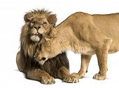 Lion and lioness cuddling, Panthera leo, isolated on white