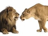 Lion and lioness sniffing each other, Panthera leo, isolated on white