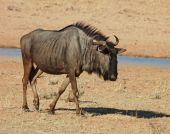 picture of semi-arid  - Blue wildebeest (Connochaetes taurinus) in the Kgalagadi Transfrontier Park Kalahari desert Southern Africa ** Note: Slight blurriness, best at smaller sizes - JPG