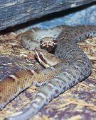A Pair Of Ridge-nosed Rattlesnakes, Crotalus Willardi