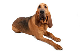 stock photo of bloodhound  - Adult Bloodhound laying down on white background - JPG