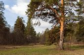 Pine-trees In Coniferous Forest. Ural, Russia.