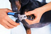 stock photo of toe nail  - Woman veterinarian is trimming dog dachshund nails - JPG